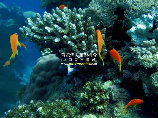 1998年以后的马尔代夫珊瑚