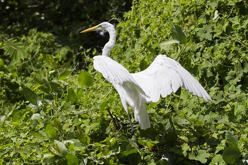 Isla de Ometepe -Río Istiam-Great Egret (Ardea Alba)