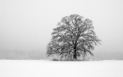 Oak, snow and the mist