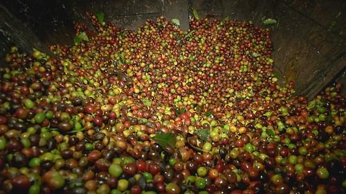 採下的咖啡豆。