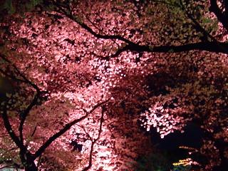 千鳥ヶ淵・桜2