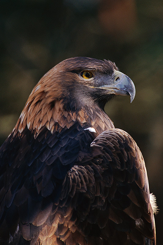 Wildlife in British Columbia, Canada: Golden Eagle