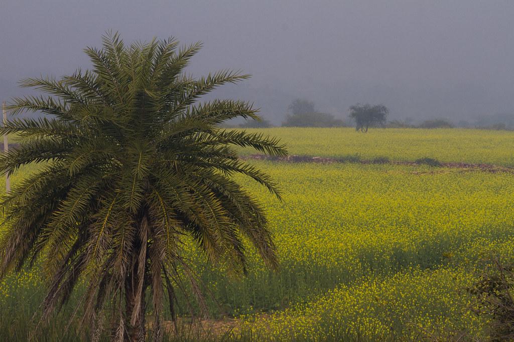 12_01_20140995053937_mustard_field