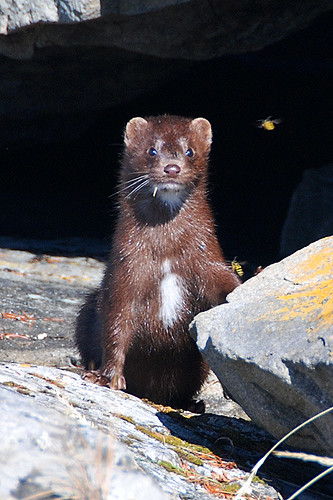A Mink watches Yellow Jacket Wasps at Roesland, Gulf Islands National Park, Pender Island, British Columbia
