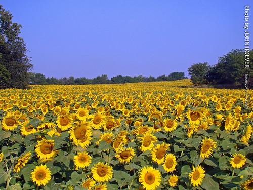 summer august sunflowers sunflower kansas sunflowerfield 2013 leavenworthcounty august2013 summer2013 grinterfarms