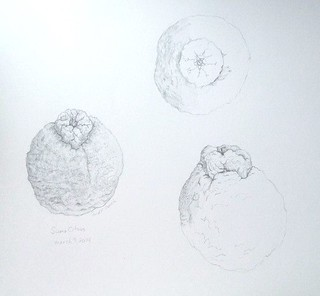 Sumo Citrus - sketches in graphite