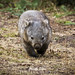 Taking a stroll - wombat by EchidnaLover