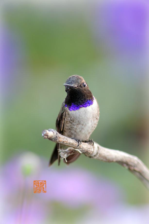 Black-Chinned-Hummingbird040714