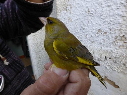 greenfinch2