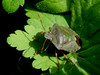 Common green shieldbug (Palomena prasina)