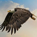 Bald Eagle by Sandy Kroeger