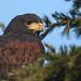 Harris's hawk (Parabuteo unicinctus) by Sandra Standbridge.