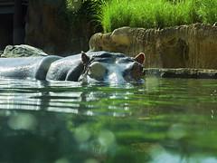 Memphis Zoo 08-31-2016 - Hippopotamus 11