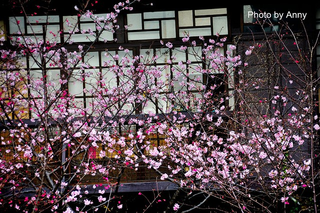 麗池櫻花65