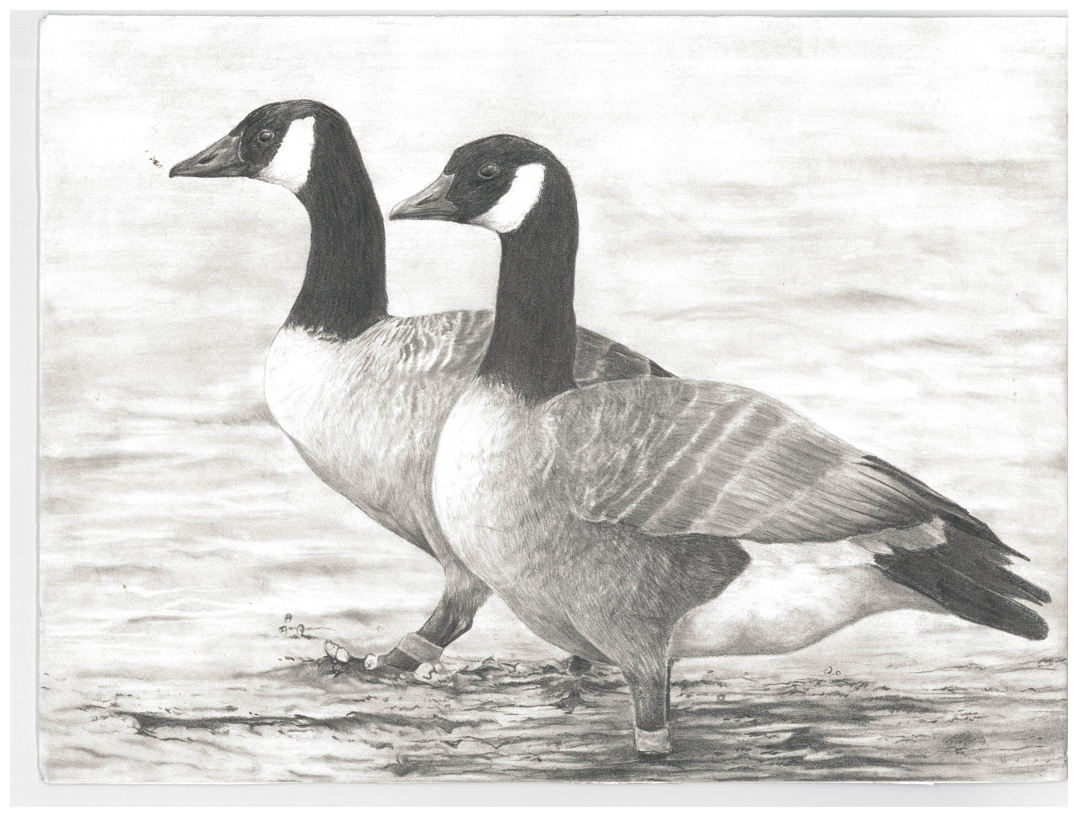 2016 Junior Duck Stamp Best of Show featuring a Canada Goose