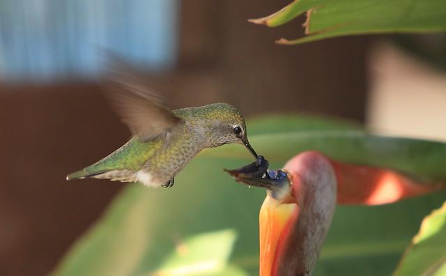 EOS00975 View Large. Female Anna's Hummingbird