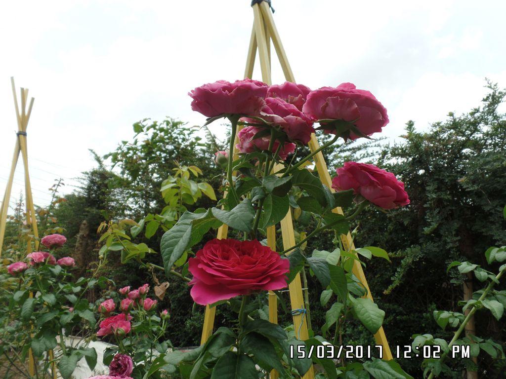 hoa hong cat canh kate rose (27)+vuonhongvanloan.com.JPG