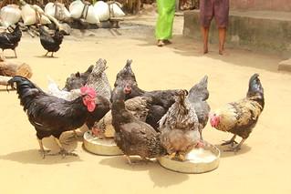 FUNAAB Alpha birds belonging to one of the farmers in Isiokpo