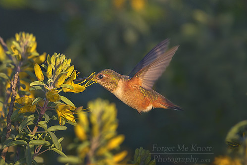 bird hummingbird allenshummingbird flying flight wings feeding flower california
