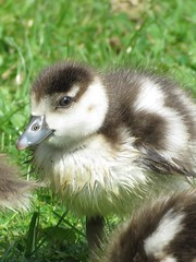 Egyptian Gosling