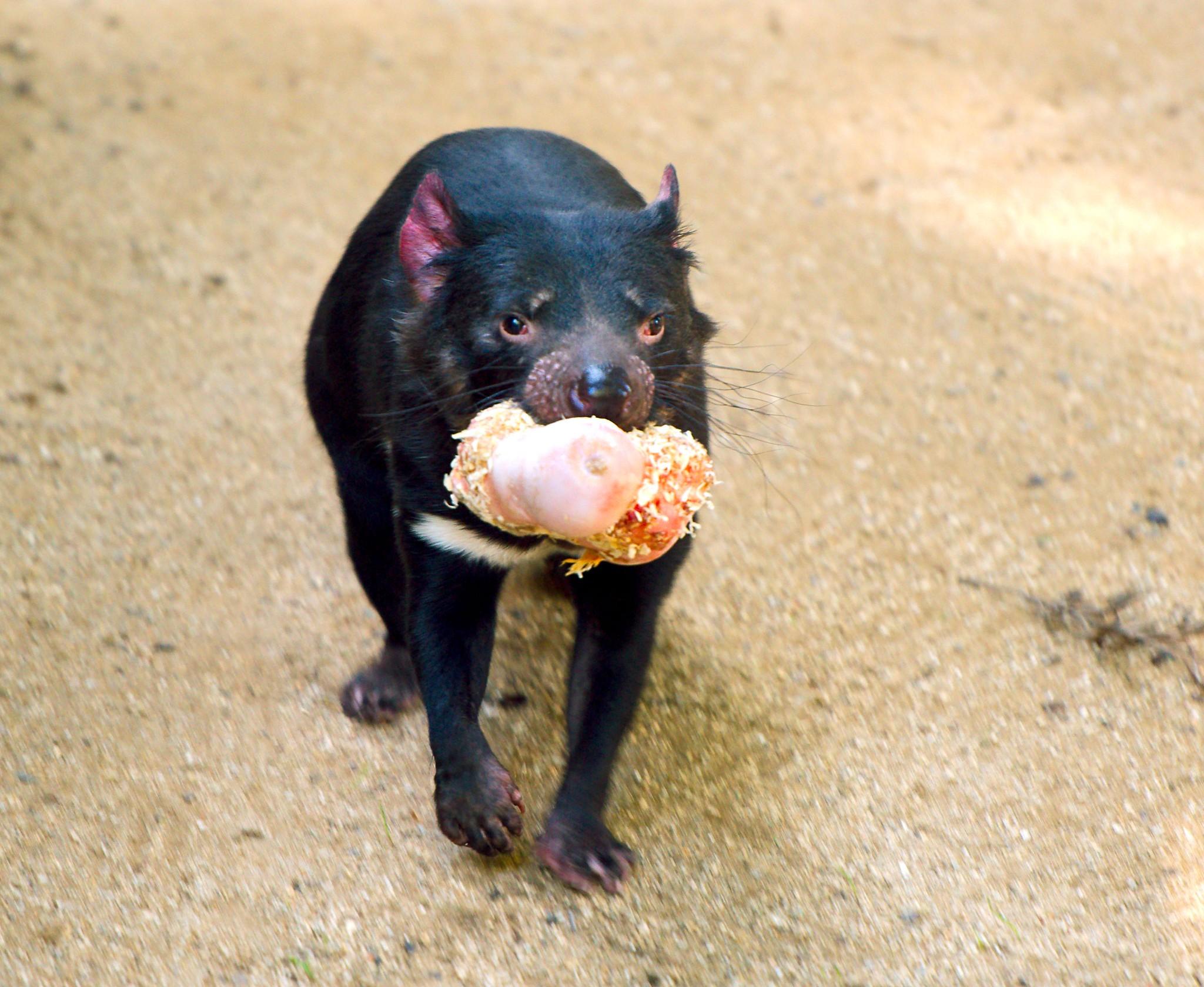 Tasmanian Devil_17