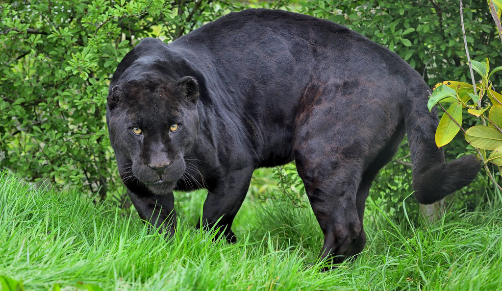 Athena The Black Jaguar This Was One Mean Cat And You