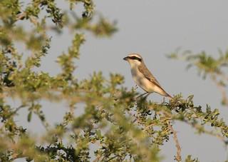 Turkestan Shrike (Lanius phoenicuroides) male.