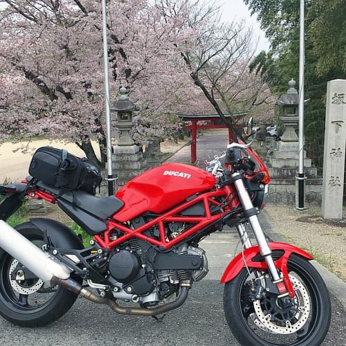 桃と菜の花と桜が撮れると聞いて走り出したら雨降って来た( ꒪⌓꒪)。途中で断念の坂下神社桜とDucatiたん #sakura #sakurablossom #ducati #ducatimonster #japan #japanese