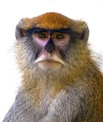 Memphis Zoo 08-31-2016 - Patas Monkey 3