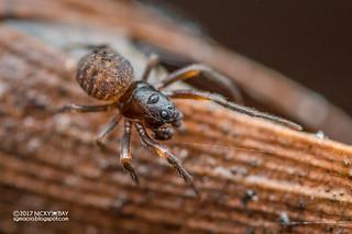 Orb weaver spider (Acusilas sp.) - DSC_3956