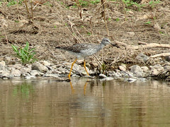 yellowlegs (A first for me!)