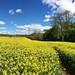 Fields of Golden Yellow