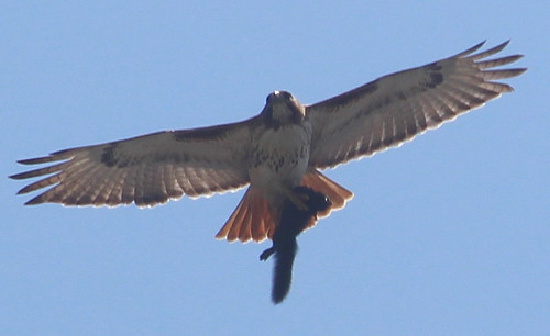 Red-tailed Hawk with prey