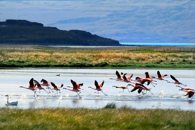 Flamencos alzando el vuelo en el Lago Argentino, Patagonia