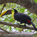 Chestnut-mandibled Toucan, Costa Rica (Reagan Smith)
