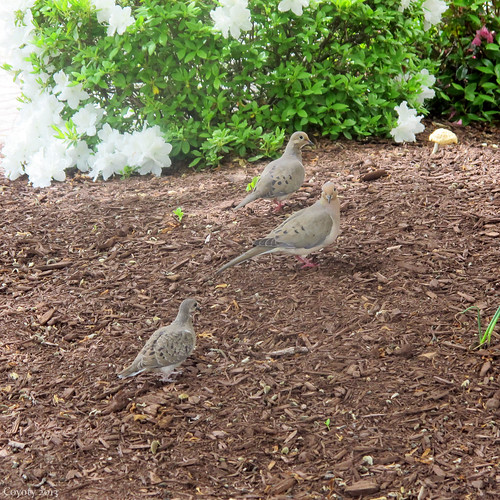 Mourning dove family by Coyoty
