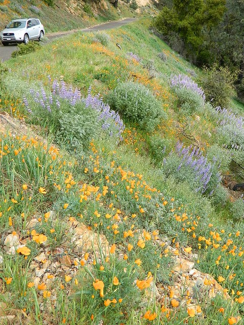 Wildflower Drives California