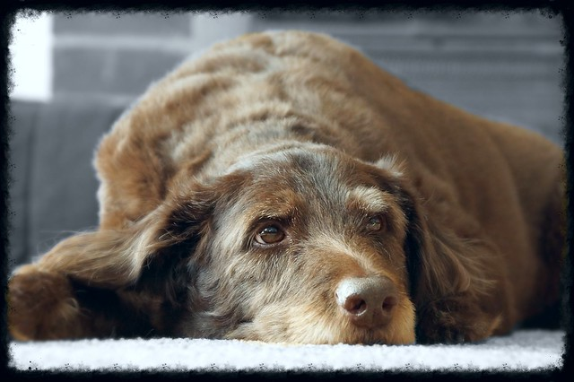 Lab/Poodle mix | Flickr - Photo Sharing!