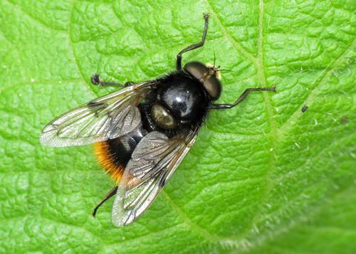 Hoverfly - Volucella bombylans