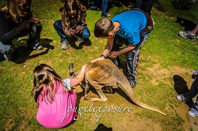 Kangaroo Petting