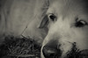 Gipsy - Golden retriever by StudioEdiGraf
