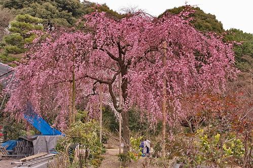 【写真】桜 : 法金剛院