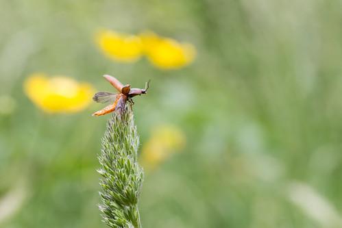 macro nature closeup canon insect coleoptera