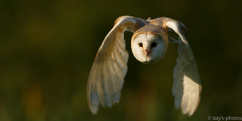 Barn owl in last light