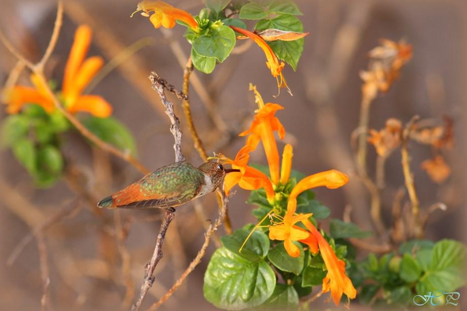 Allen's Hummingbird 080513-2