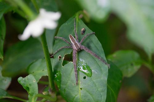 04588 Nursery Wolf Spider