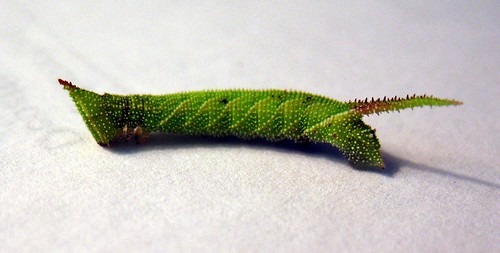 caterpillar of Amorpha juglandis (Walnut Sphinx)