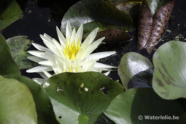 Waterlelie Yellow Queen / Nymphaea Yellow Queen