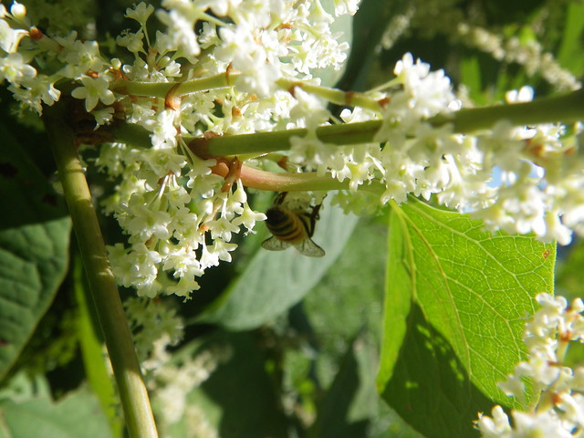 knotweed flowers attracting a honeybee