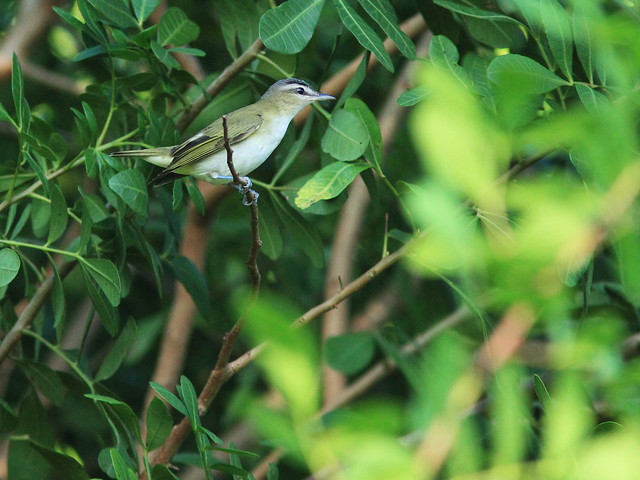 Red-eyed Vireo 4-20130920